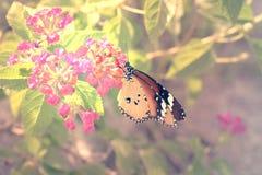 Le papillon simple de tigre Images libres de droits