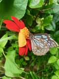 Le papillon suce le nectar des tournesols mexicains image libre de droits