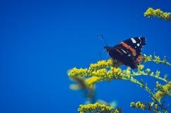 Le papillon sur le jaune fleurit l'atalanta de Vanessa Image stock