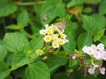 Le papillon sur la fleur de lantana Photographie stock libre de droits