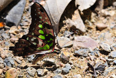 Le papillon sur le sel lèchent. Images stock