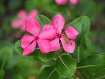 Le papillon sur les fleurs roses Image libre de droits