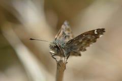 Le papillon terne de capitaine (Erynnis étiqueté) était perché sur l'extrémité de la tige d'herbe Images stock