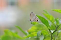 Le papillon tombe sur les feuilles du poivre Photographie stock