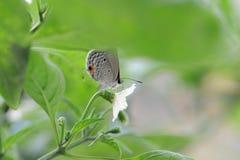 Le papillon tombe sur les feuilles du poivre Images stock