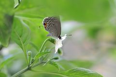 Le papillon tombe sur les feuilles du poivre Photo libre de droits