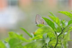 Le papillon tombe sur les feuilles du poivre Photos libres de droits