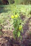 Le paprika non mûr vert plante l'élevage en serre chaude Photo stock