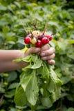 Le paquet du radis frais a m?lang? des saveurs photographie stock libre de droits