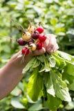 Le paquet du radis frais a m?lang? des saveurs images libres de droits