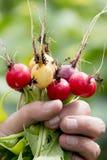 Le paquet du radis frais a m?lang? des saveurs photo stock