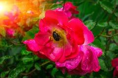 Le parasite de scarabée mange la rose de rose dans la rosée image stock