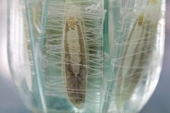 Le parasite ou les vers est un parasite de poisson d'eau douce dans le laboratoire pour l'éducation photo stock