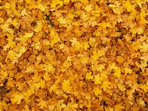 Le parc d'automne a rectifié avec les feuilles d'érable jaune-orange sèches, feuille colorée Photo stock