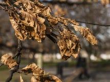 Le parc de Greenwich, sèchent des feuilles Photographie stock