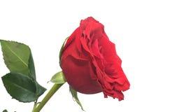 Le parfumé rouge mûri s'est levé Image libre de droits