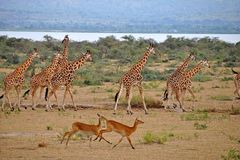 Le passage de giraffes avec des gazelles chez Murchison tombe Ugan Images stock