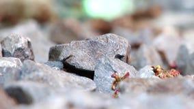 Le passeggiate veloci delle formiche sopra le pietre stock footage