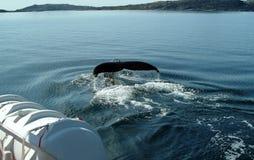 Le passere della coda di una balena di immersione subacquea dentro lui mare Glaciale Artico fuori dalla costa della Groenlandia immagini stock