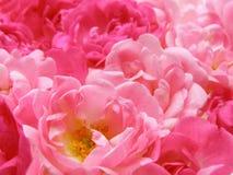 Le pastel rose s'est levé Photos libres de droits