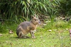 Le patagonum de Dolichotis de Patagonium Mara se repose sur l'herbe entourée par la végétation verte photos stock