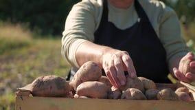 Le patate della tenuta dell'agricoltore Alimento sano con le vitamine Fresco e alimento biologico Concetto dei vegetariani, organ video d archivio