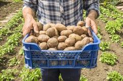 Le patate della tenuta dell'agricoltore Fresco e alimento biologico Giardino Hea Immagine Stock Libera da Diritti