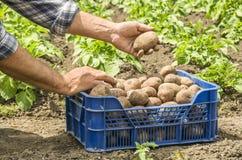 Le patate della tenuta dell'agricoltore Fresco e alimento biologico Giardino Hea Immagine Stock