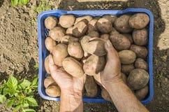 Le patate della tenuta dell'agricoltore Fresco e alimento biologico Giardino Hea Fotografie Stock