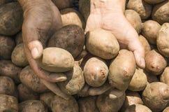 Le patate della tenuta dell'agricoltore Fresco e alimento biologico Giardino Hea Immagini Stock Libere da Diritti