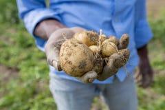 Le patate piene delle radici stanno mostrando un lavoratore in Thakurgong, Bangladesh Immagine Stock