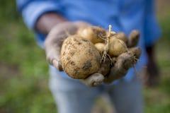 Le patate piene delle radici stanno mostrando un lavoratore in Thakurgong, Bangladesh Immagini Stock Libere da Diritti