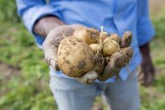 Le patate piene delle radici stanno mostrando un lavoratore in Thakurgong, Bangladesh Fotografia Stock Libera da Diritti