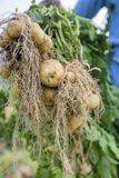 Le patate piene delle radici stanno mostrando un lavoratore in Thakurgong, Bangladesh Immagini Stock