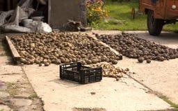 Le patate raccolte fotografia stock