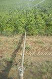 Le patate sistemano irrigato dall'impianto di irrigazione del perno fotografia stock libera da diritti