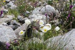 Le pavot cultivé fleurit en été près de la montagne de Beluha, Altai, Russie Images libres de droits