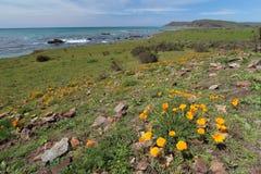 Le pavot d'or de la Californie fleurit, Big Sur, la route 1, la Californie Images libres de droits