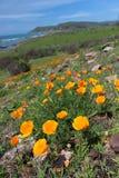 Le pavot d'or de la Californie fleurit, côte de Big Sur, la Californie, Etats-Unis Photographie stock libre de droits