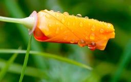 Le pavot de Californie protègent des pétales pour la pluie photo stock