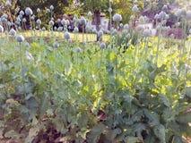 Le pavot de champ dans le village d'Ivanovo en Serbie Image libre de droits