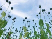 Le pavot de champ dans le village d'Ivanovo en Serbie Photos libres de droits