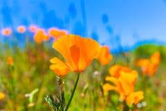 Le pavot de pavots fleurit dans l'orange aux gisements de ressort de la Californie Photo stock