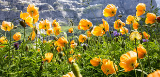 Le pavot jaune sauvage fleurit faisant face à la lumière du soleil en vallée alpine, Poppy Flowers prospèrent dans des climats ch Images stock