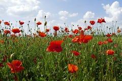 Le pavot rouge fleurit la floraison dans le domaine de pavot Photos stock