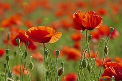 Le pavot rouge fleurit la floraison dans le domaine de pavot Photographie stock libre de droits