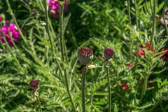 Le pavot vert se dirige dans un jardin rustique photographie stock