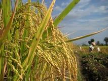 Le pays de riz Photo libre de droits