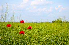 Le paysage étonnant de champ de pavot de ressort contre le ciel et la lumière colorés opacifie Quatre pavots dans le domaine Image libre de droits