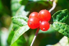 Le paysage automnal de _rouge de fruit Photo stock